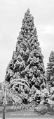 Coastal-Redwood-in-the-Snow.jpg
