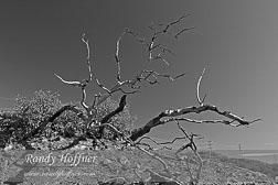 Scorched-Manzanita-bw.jpg
