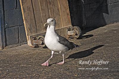 Adult-Great-Black-Bacled-Gull-01.jpg