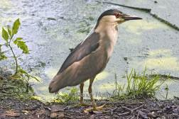Black Crowned Night Heron 1.jpg