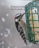 Downey Woodpecker.jpg