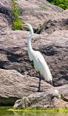 Great Egret on the Rocks.jpg