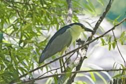 Night Heron in the Glade2.jpg
